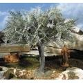 15 in. Large Olive Tree - Fontanini